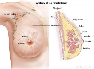 Breast Cancer: the onset